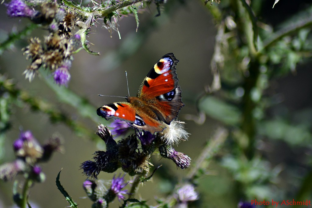 Schmetterling Tagpfauenauge - Inachs io Butterfly
