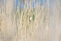 Sedge warbler singing many tunes