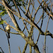 The Yellow-billed Cuckoo