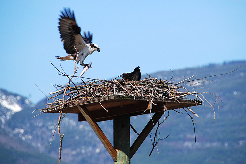 Ospreys nesting in Peter Jannink Nature Park, Salmon Arm, Shuswap Lake, Shuswap, British Columbia