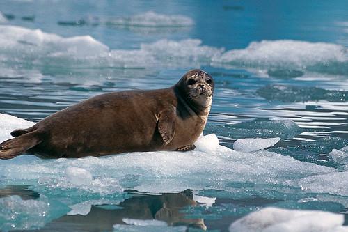 Wildlife in British Columbia, Canada: Harbour Seal (Phoca vitulina)