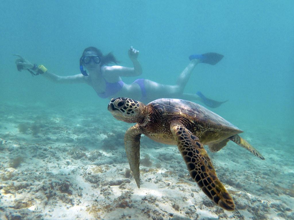 Green Sea Turtle Lanikai Beach Oahu Thomas Shahan Flickr