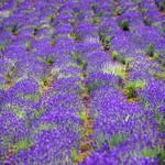 中富良野  Field of Lavender in Naka-Furano