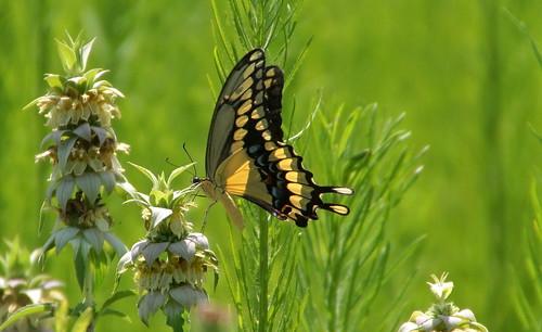 butterfly giantswallowtail
