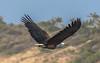 African Fish Eagle - Haliaeetus vocifer by RJ Roberts