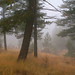 Foggy ponderosa pine forest.