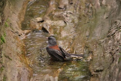 Dark-eyed Junco   by Birding In New Jersey
