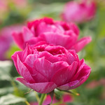 Rose, Commandant Beaurepaire, バラ, コマンダン ボルペール,