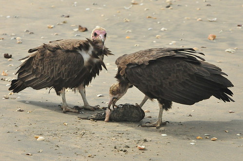 Hooded Vultures | by rogersanderson