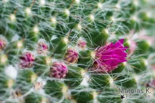 Kaktusblüte | Projekt 365 | Tag 145