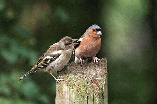 IMGP3030 pair of Chaffinch, Paxton Pits, August 2015