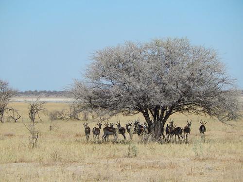 Etosha NP - springbokjes in de schaduw