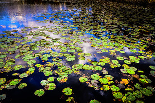 Lily Pads on Walney Pond Centreville VA on Fall Day | by mbell1975