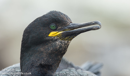 shag close up-2   by Neil Phillips