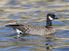cackling goose by hawk person