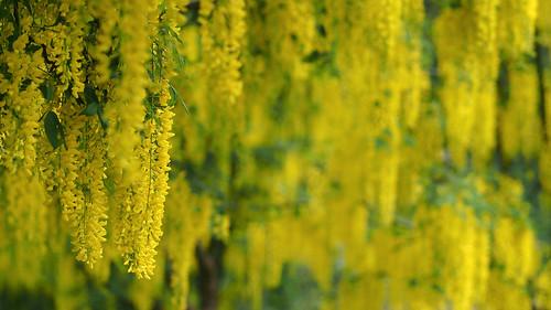 flowers canada yellow vancouver garden bc bright bokeh britishcolumbia vibrant vivid colourful 169 laburnum vandusenbotanicalgarden zd goldenchain 50mmmacro20 50mmmacrof20 panasonicdmwma1 olympusem5
