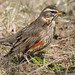 Redwing - Photo (c) Ján Svetlík, some rights reserved (CC BY-NC-ND)