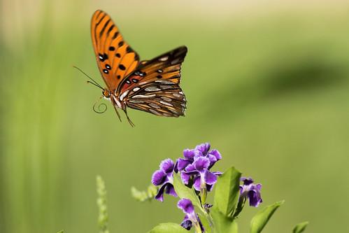 nature butterfly insect gulffritillary agraulisvanillae durantaerecta sapphireshowers mhazephoto