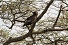 IMG_4801a - Bateleur Eagle (juvenile) (Terathopius ecaudatus), Ndutu Preserve, Arusha Region, Tanzania (GPS #378) by Wayne W G