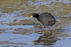 Red-gartered Coot -Tagua Común (Fulica armillata) Cartagena, Chile 2016 by Ricardo Bitran