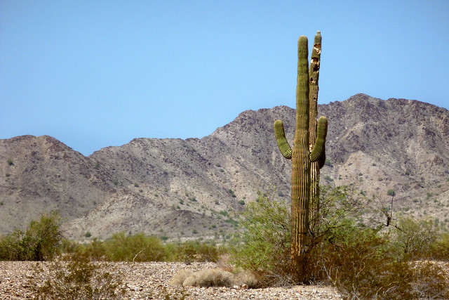 Saguaro Cactus - Sonoran Desert, Arizona