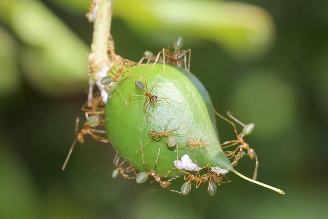Green-ants 6598
