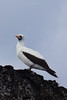 Nazca or Masked Booby by Davey6585