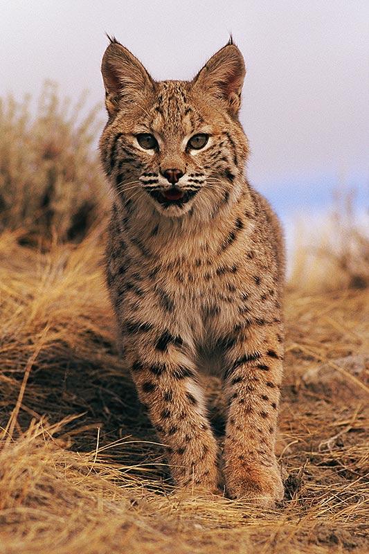 Wildlife in British Columbia, Canada: Bobcat