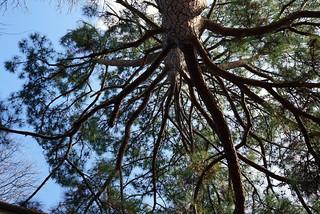 Pine Tree 2   by jenniferworthen