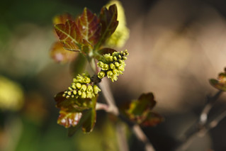 Rhus aromatica (fragrant sumac) | by tgpotterfield
