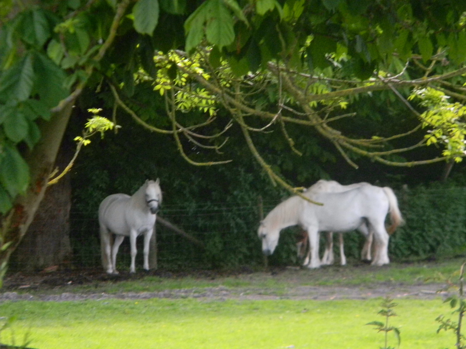 White horses Lewes Circular via West Firle