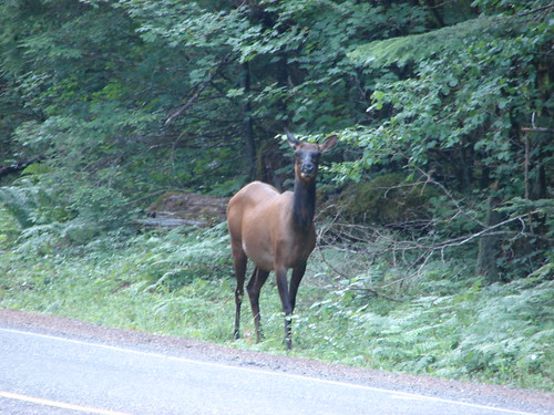 Our first elk sighting. Near the Observation Peak Trailhead