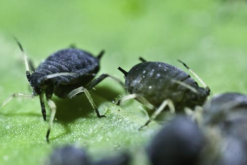 Black bean aphid   by kohlmann.sascha