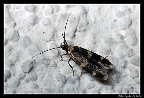 Oegoconia sp. (Oegoconia deauratella/quadripuncta)