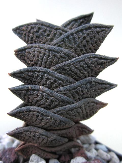 Haworthia nigra v. diversifolia, Merweville