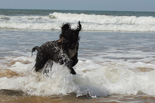 Barney's first time in the sea | by Guy R