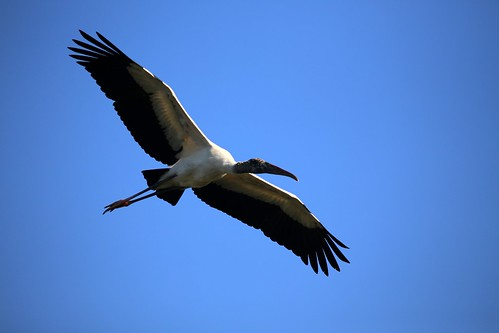 WOOD STORK | by cuatrok77
