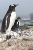 Gentoo Penguin and young at nest by RedAbbott