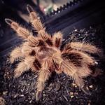 #tarantula #タランチュラ #チリアンコモン #pet