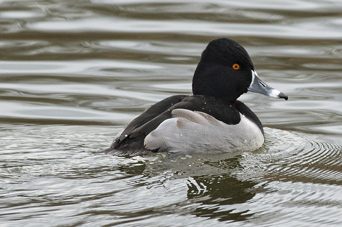 Ring-necked Duck - Aythya collaris - adult male | by jbinpg
