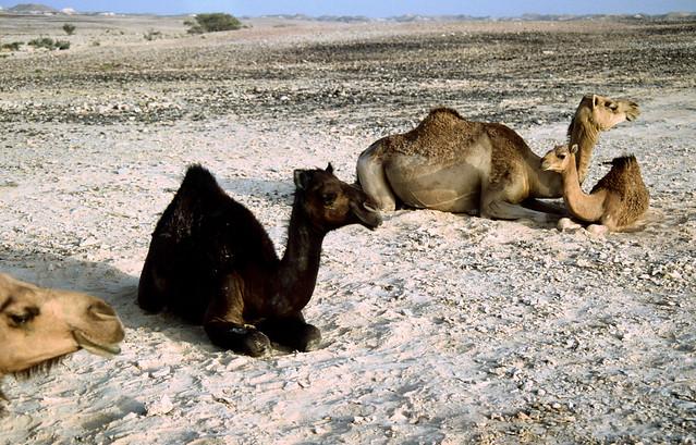 Black Camel - Dhofar