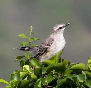 Tropical Mocking Bird 1 | by ahisgett