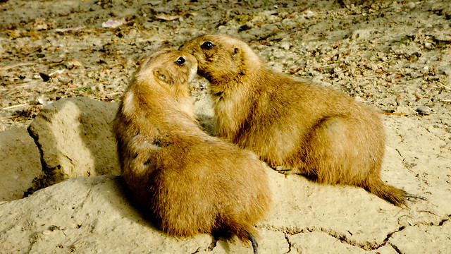 In love - prairie dogs