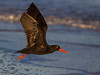 African Black Oystercatcher by Gerhard Theron