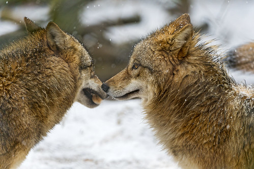 Two wolves nose against nose | by Tambako the Jaguar