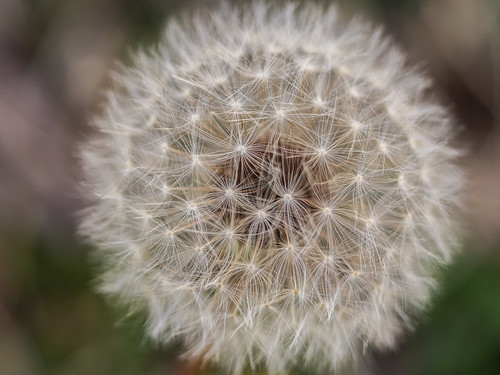 Dandelion Puff Ball Macro | by captainslack