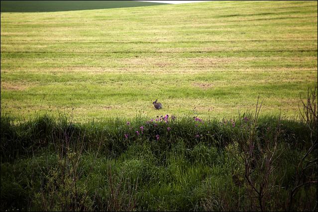hare in farmer's field