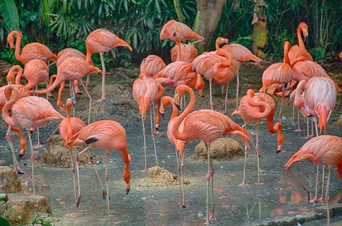 Caribbean Flamingos | by Eustaquio Santimano