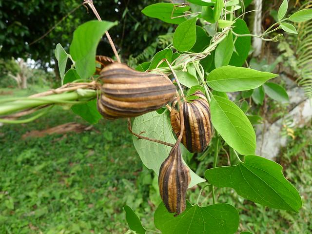 Aristolochia odoratissima L.(ARISTOLOCHIACEAE)