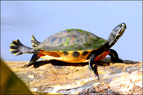 Florida Red-Bellied Cooter | by matlacha